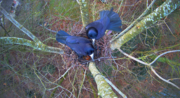 Kooperationsprojekt CORVO - Rabenvogel-Projekt ist lanciert