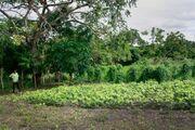 Dem Kokain-Fluch entrinnen: Wie SWISSAID den Bauern in Kolumbien legale Einkommensalternativen aufzeigt