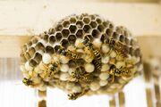 Die Wespen sind hungrig – richtiges Verhalten ist wichtig