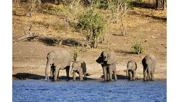 Der Handel mit lebenden Elefantenkälbern muss eingeschränkt werden