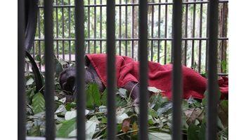 Orang-Utan Robin wird in Vier Pfoten Waldschule operiert Verdacht auf Hodenkrebs