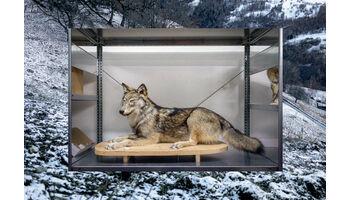 Vom Leben und Sterben der Wölfe