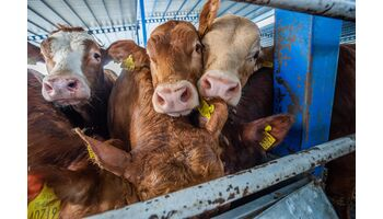 Tragödie auf See geht weiter: Die «Elbeik» fährt nach beinahe dreimonatiger Irrfahrt mit 1'776 Rindern an Bord ebenfalls zurück in die EU